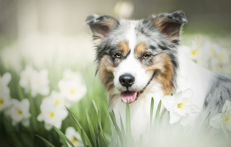 Photo wallpaper look, face, flowers, dog, daffodils, bokeh, Australian shepherd, Aussie