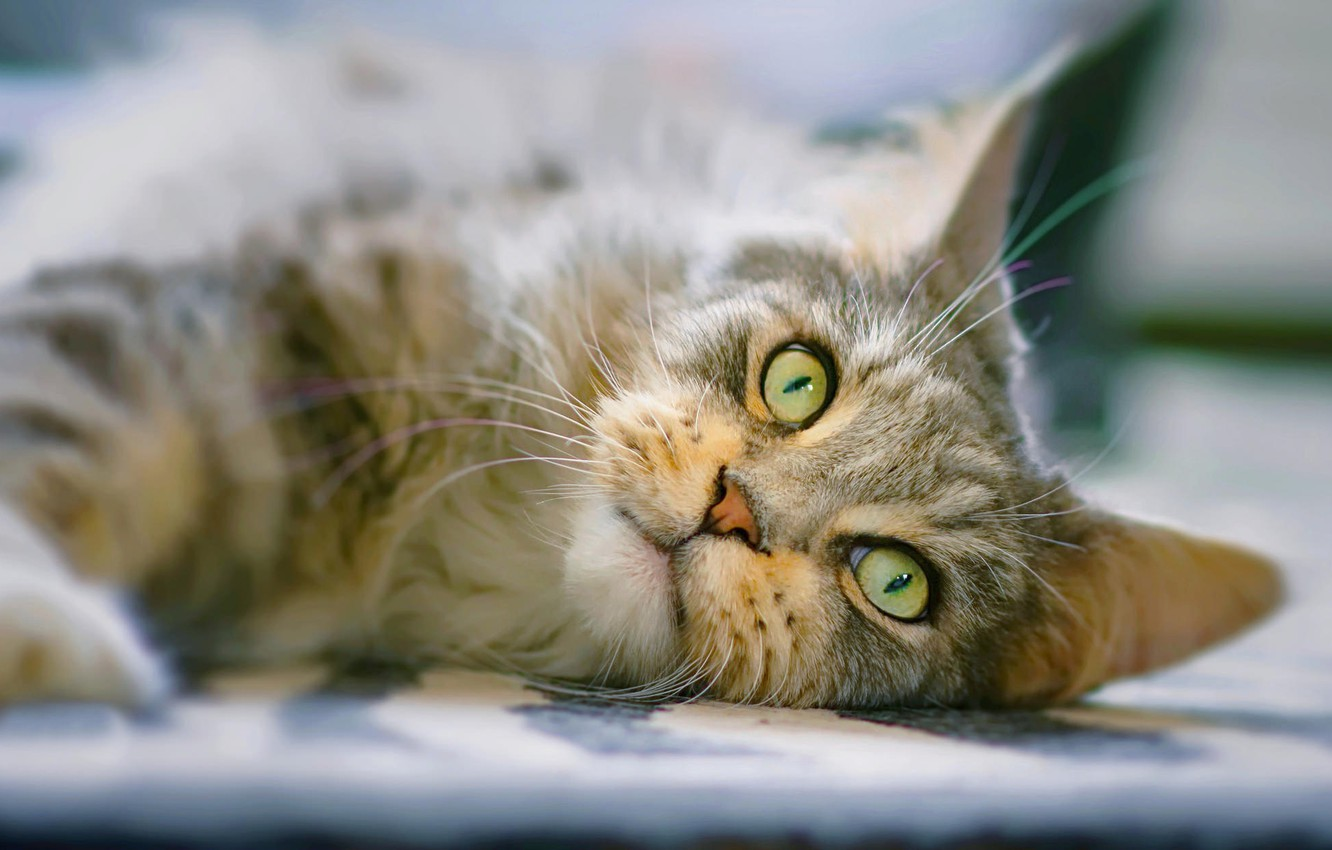 Photo wallpaper cat, cat, look, muzzle, Maine Coon