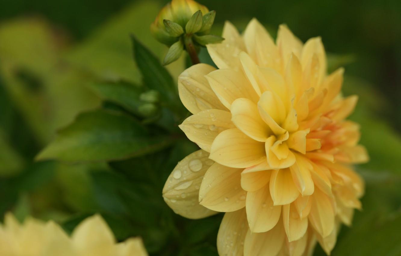 Photo wallpaper flower, macro, petals, Dahlia