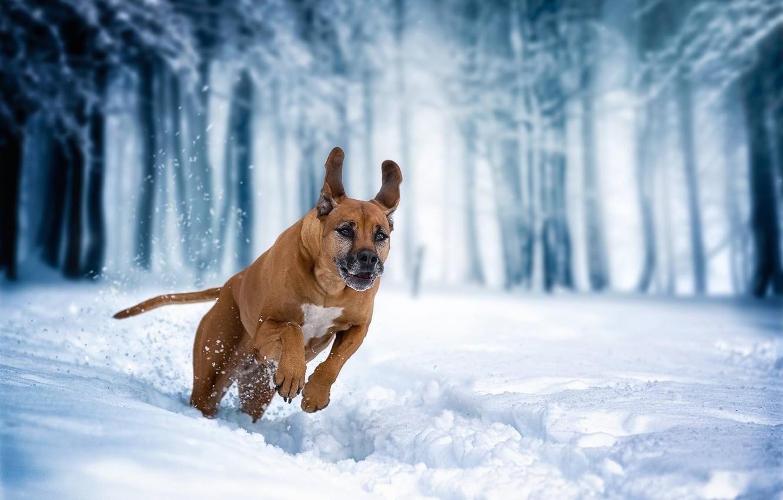 Photo wallpaper winter, snow, dog, running, walk, Rhodesian Ridgeback