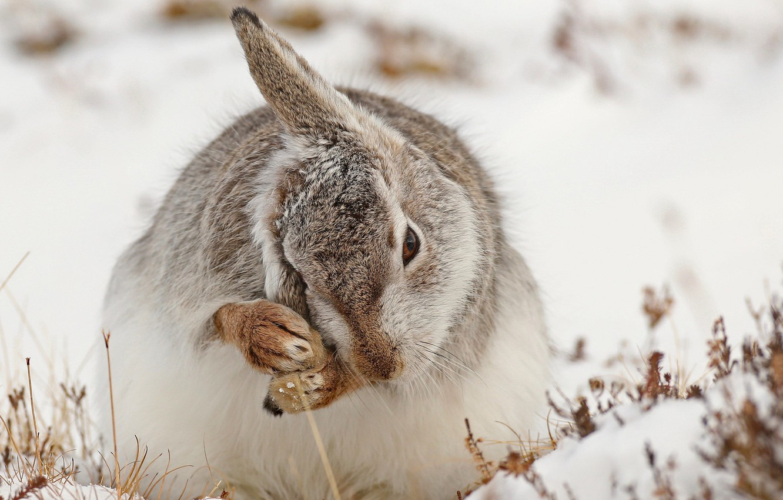 Photo wallpaper snow, nature, hare