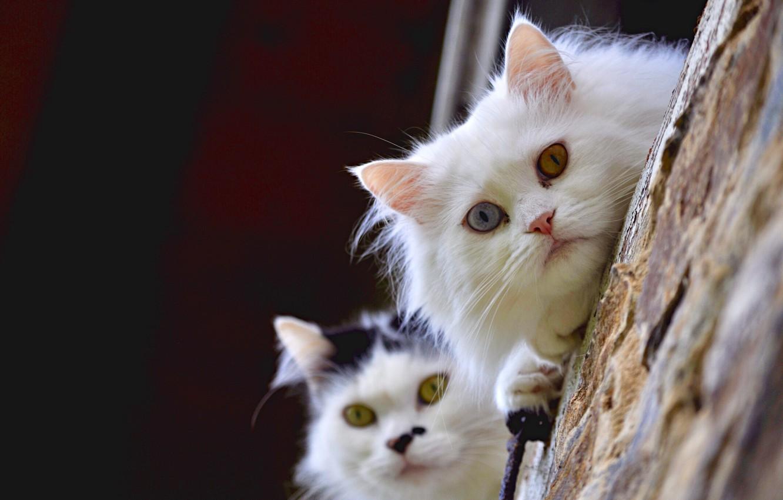 Photo wallpaper look, cats, a couple, faces