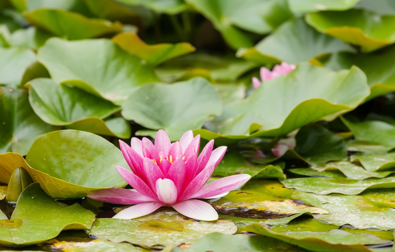 Photo wallpaper leaves, water, nature, Flowers, Pink, Water Lily