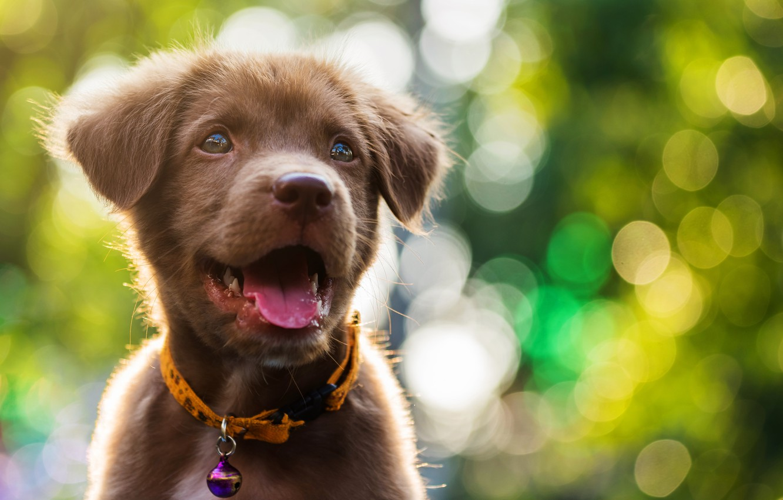 Photo wallpaper cute, puppy, light, Labrador, puppy, dog, bokeh, cute