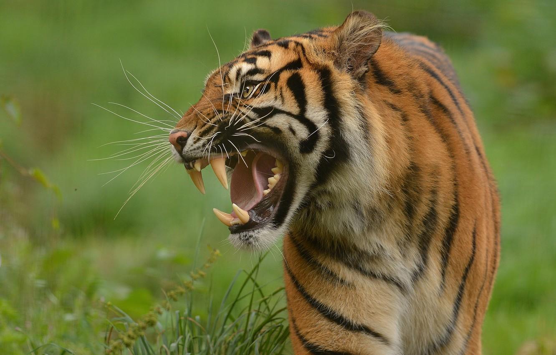 Photo wallpaper tiger, predator, fangs, grin, wild cat