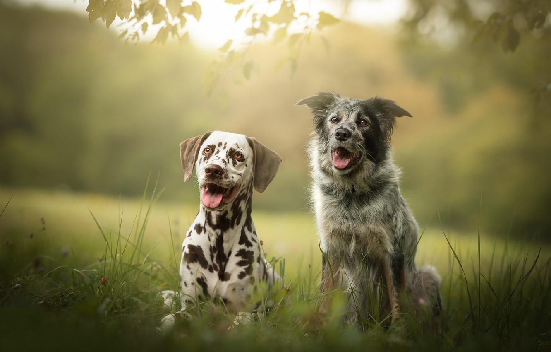 Photo wallpaper dogs, friends, bokeh, two dogs