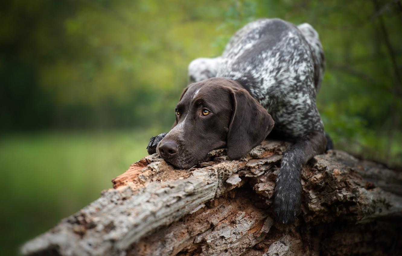 Photo wallpaper dog, snag, pointer, German shorthaired pointer