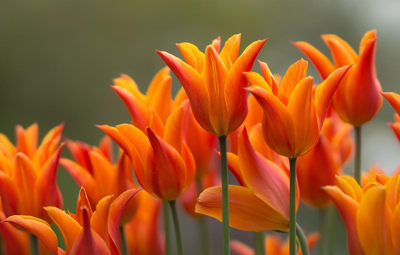 Photo wallpaper flowers, garden, tulips, orange