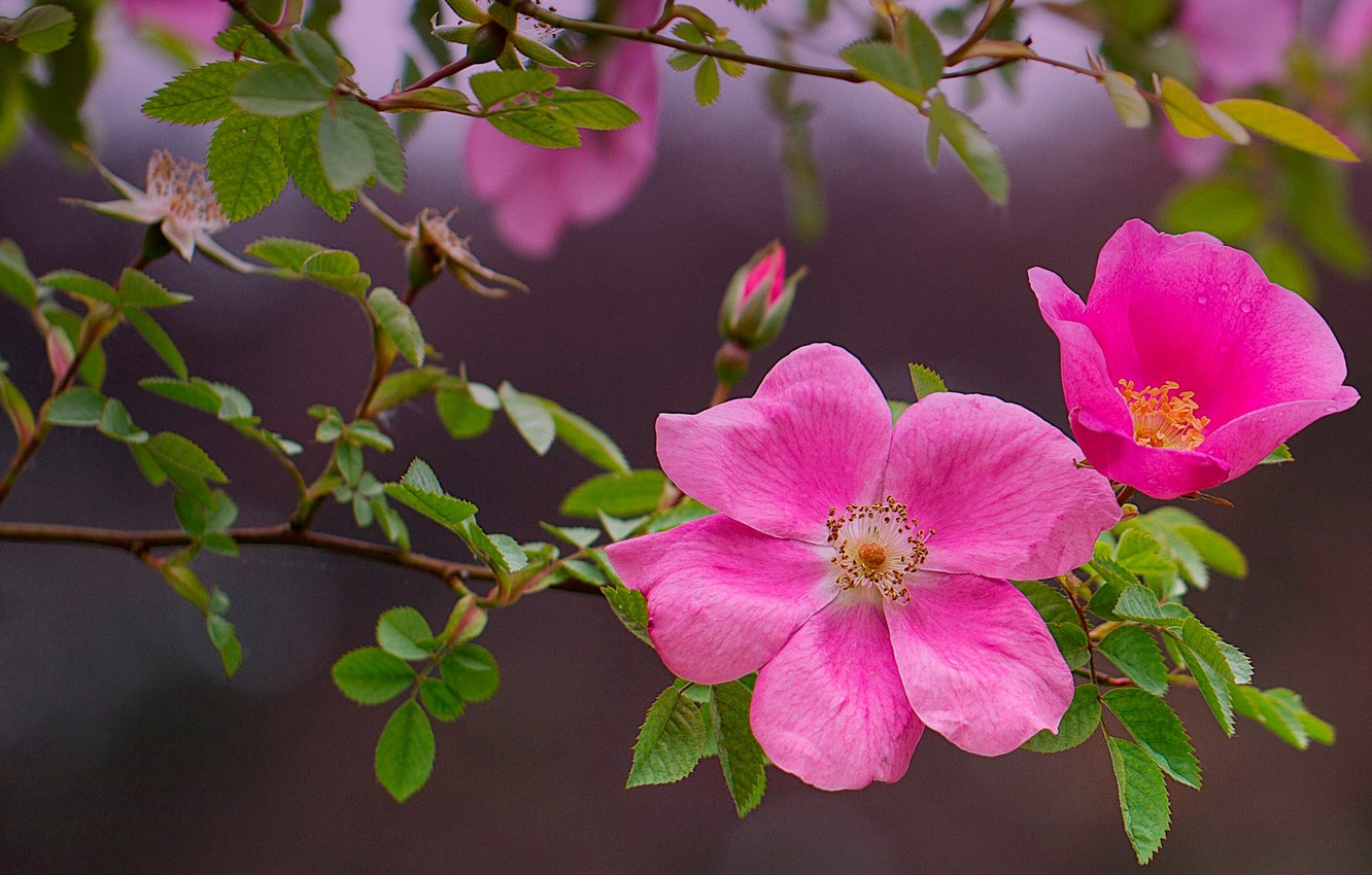 Photo wallpaper leaves, branches, nature, background, Bush, briar, pink, flowers, bokeh