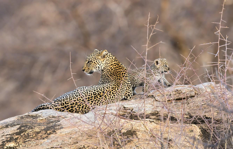 Photo wallpaper leopard, Africa, Kenya, Samburu