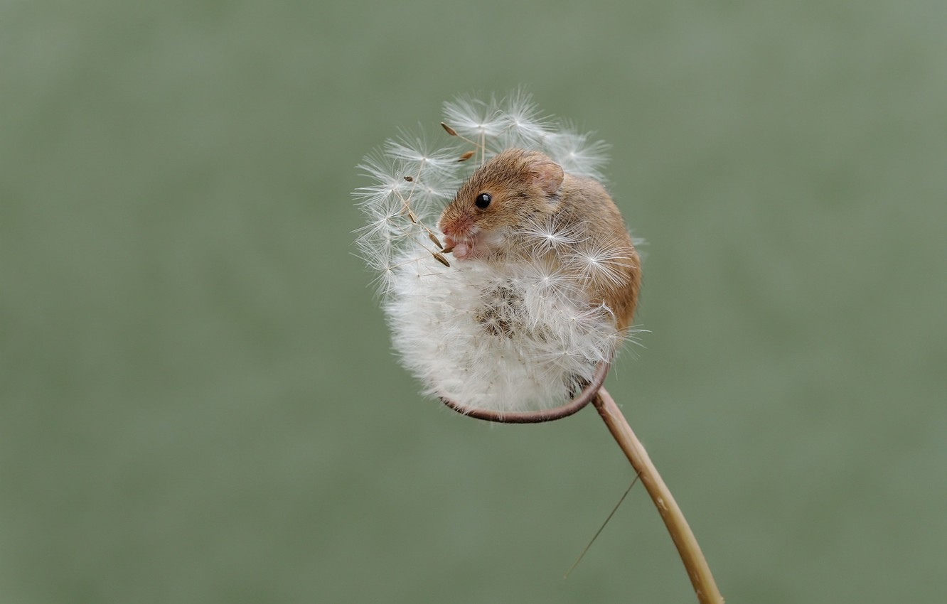Photo wallpaper nature, dandelion, mouse, the mouse is tiny