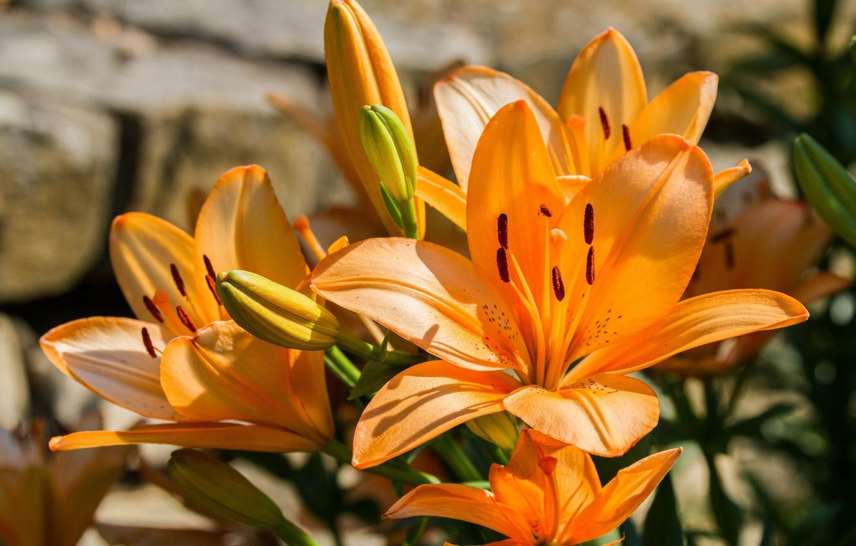 Photo wallpaper Lily, orange, tiger