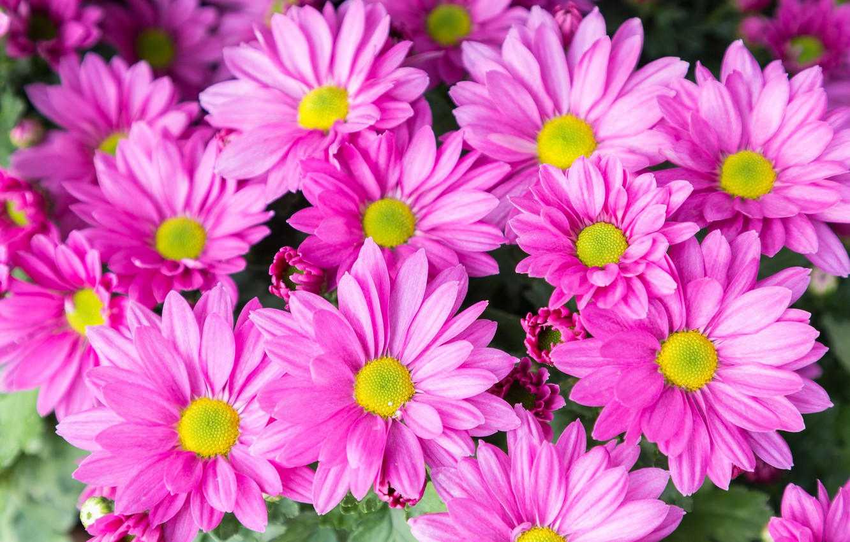 Photo wallpaper flowers, pink, chrysanthemum, pink, flowers