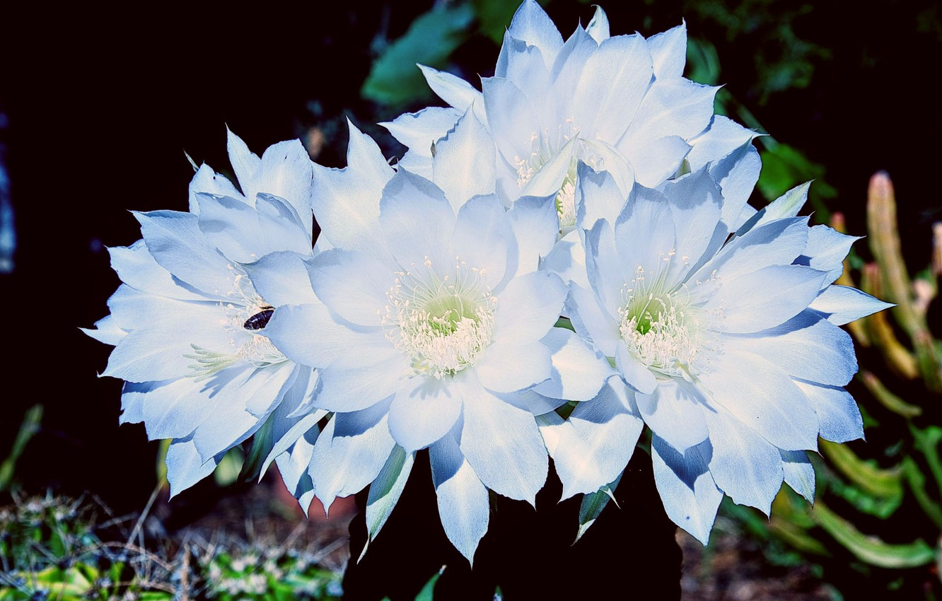 Photo wallpaper the dark background, beauty, petals, cactus, stamens, flowering, bug, blue flowers, light and shadow, picture …