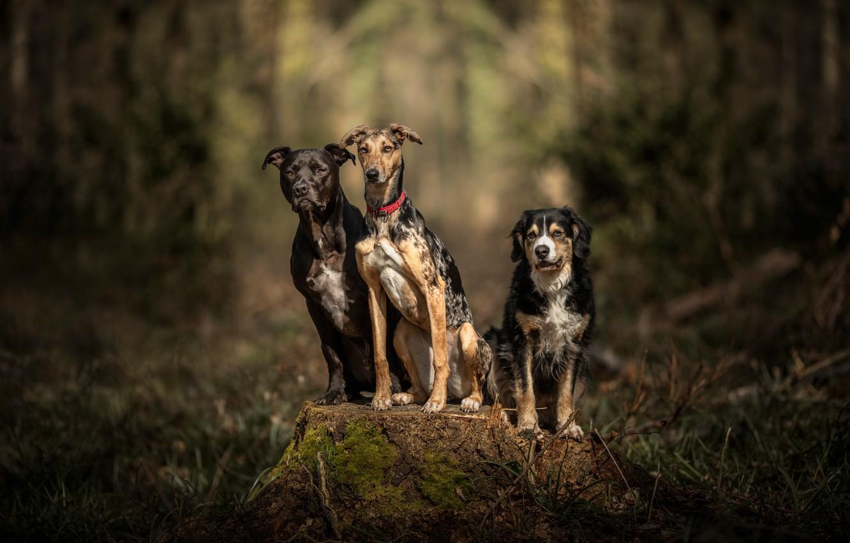 Photo wallpaper forest, dogs, stump, trio, friends, bokeh, Trinity, three dogs, three friends