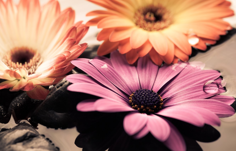 Photo wallpaper water, stones, colorful, flowers, gerbera, gerbera, osteospermum