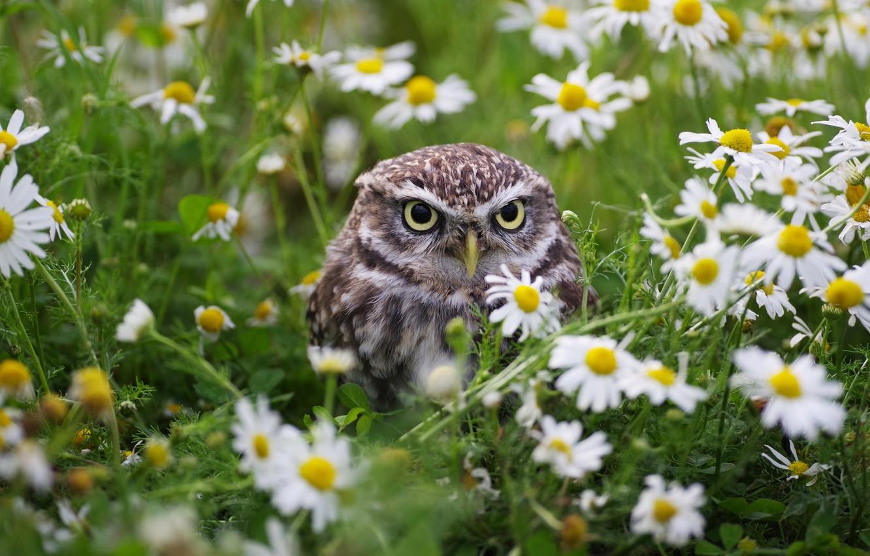 Photo wallpaper flowers, nature, owl, bird, chamomile