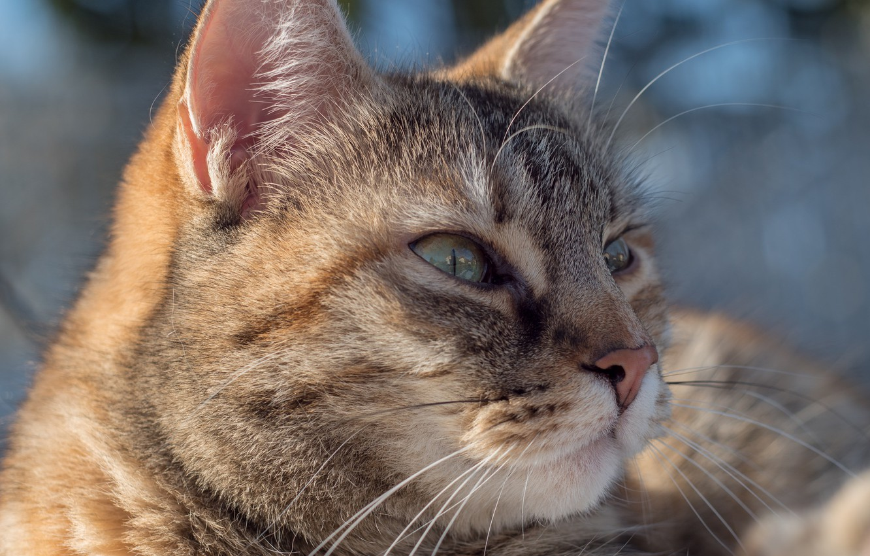 Photo wallpaper cat, cat, portrait, muzzle