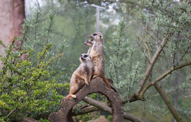 Photo wallpaper Family, Meerkats, Guardians