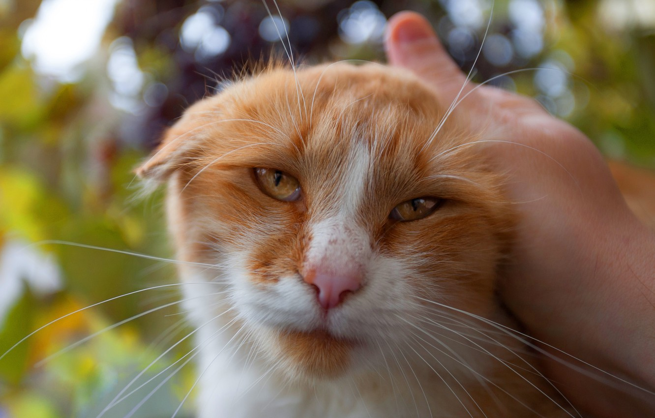 Photo wallpaper cat, eyes, cat, look, face, leaves, nature, background, hand, portrait, fold, red, weasel, the owner, …