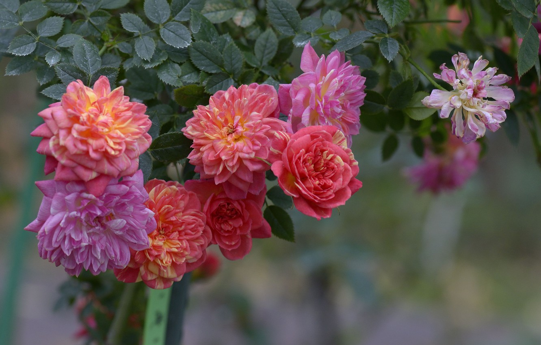 Photo wallpaper Bush, roses, garden, buds