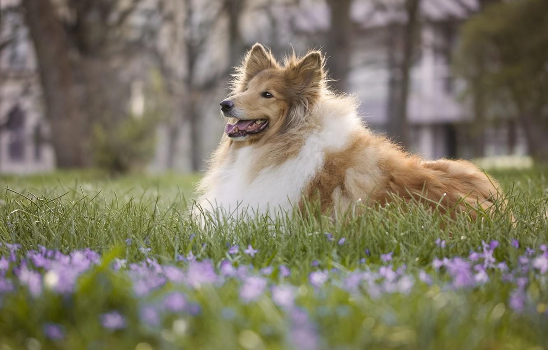 Photo wallpaper grass, dog, bokeh, Rough collie