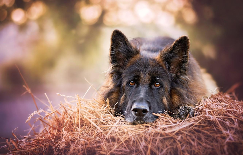 Photo wallpaper look, face, dog, hay, German shepherd