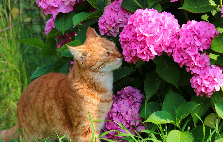 Photo wallpaper summer, cat, cats, nature, hydrangea, cottage, red cat, Stepan, Stepan