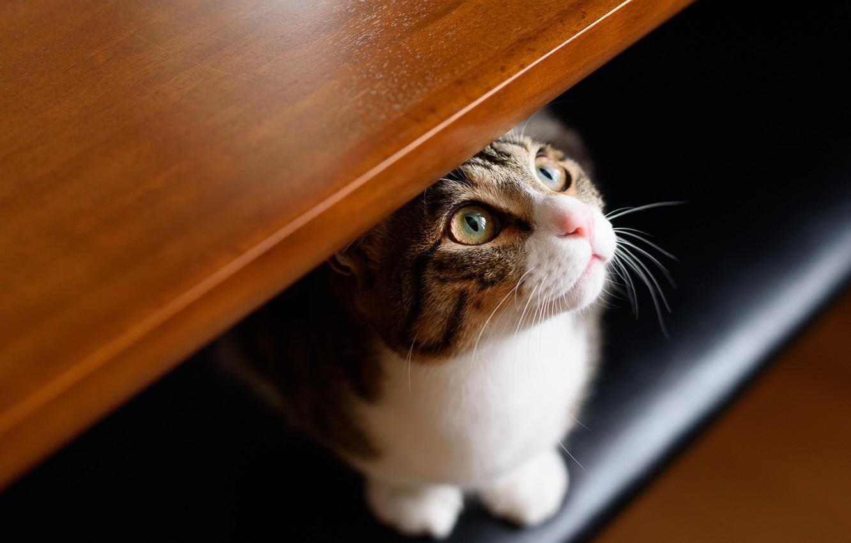 Photo wallpaper cat, eyes, cat, look, face, grey, portrait, shelf, hide and seek, striped, Kote
