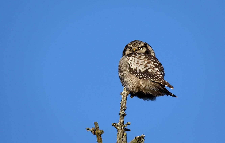 Photo wallpaper the sky, owl, bird