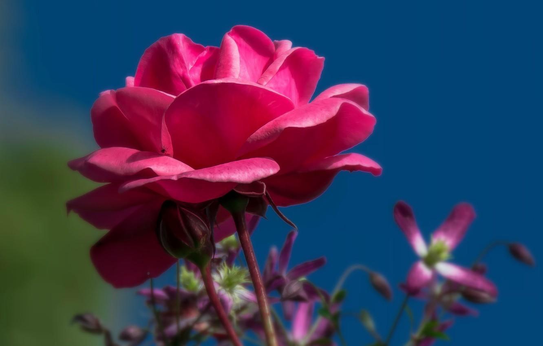 Photo wallpaper flower, the sky, background, rose, Bud