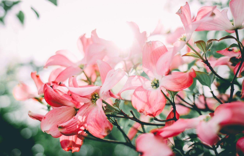Photo wallpaper flowers, petals, pink, dogwood