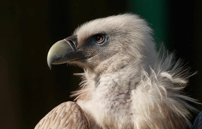 Photo wallpaper bird, eagle, beak, bird, Grif, eagle, neck, beak