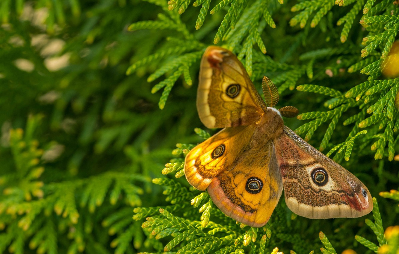 Photo wallpaper macro, branches, butterfly, Emperor moth red