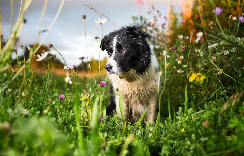 Photo wallpaper summer, nature, dog
