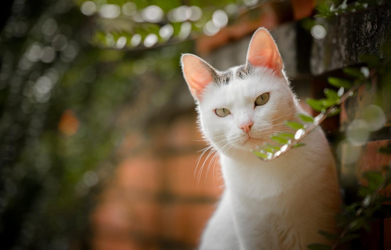 Photo wallpaper cat, look, bokeh, white cat