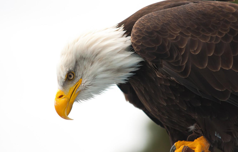 Photo wallpaper eye, wildlife, bald eagle, beak, hunting