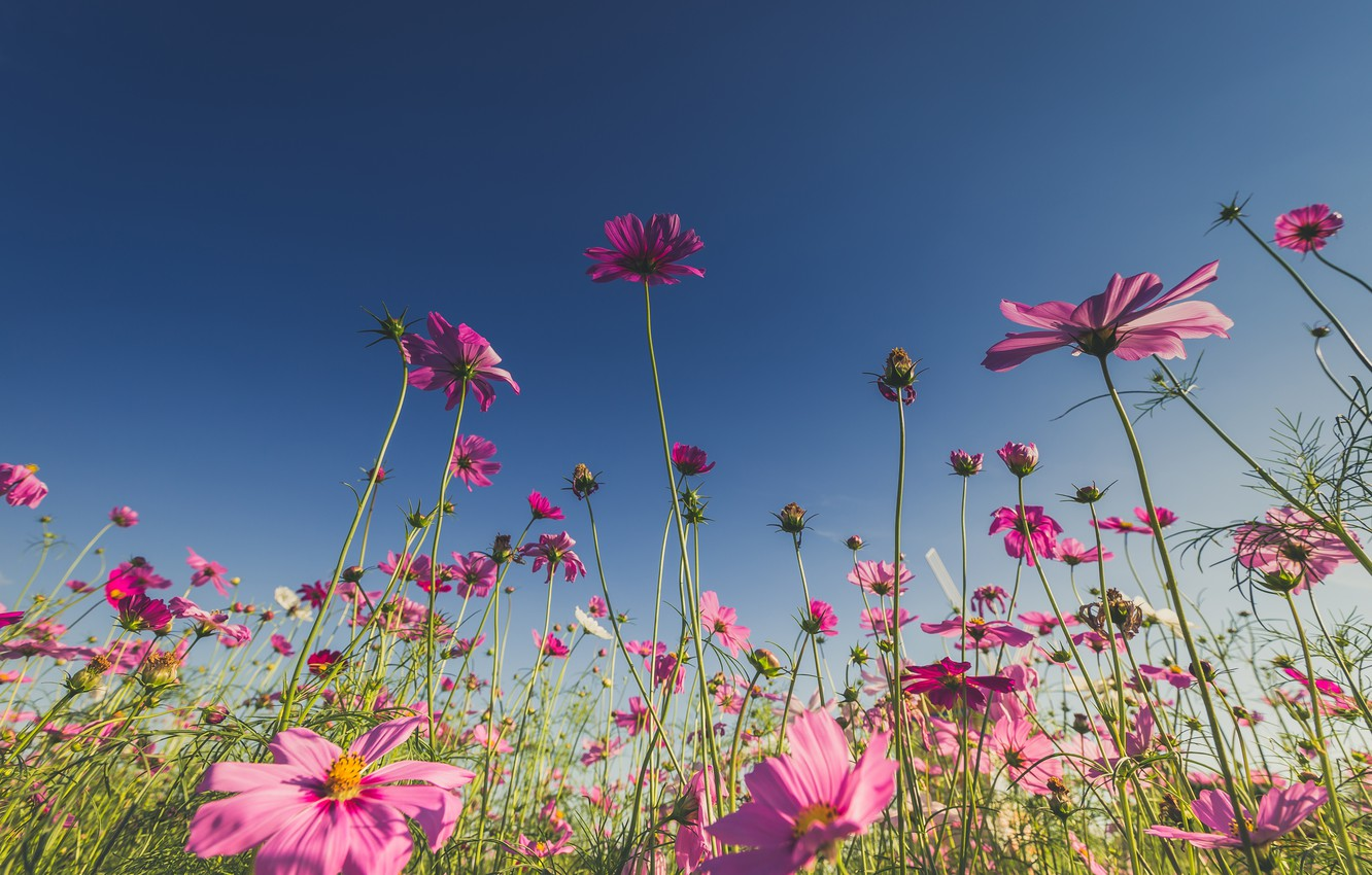 Photo wallpaper field, summer, the sun, flowers, summer, pink, field, pink, flowers, cosmos