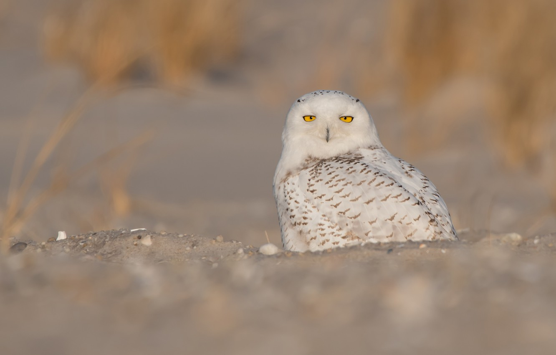Photo wallpaper sand, eyes, look, nature, background, owl, bird, feathers, yellow, white, sitting, polar, blade, motley