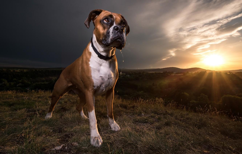 Photo wallpaper sunset, each, dog