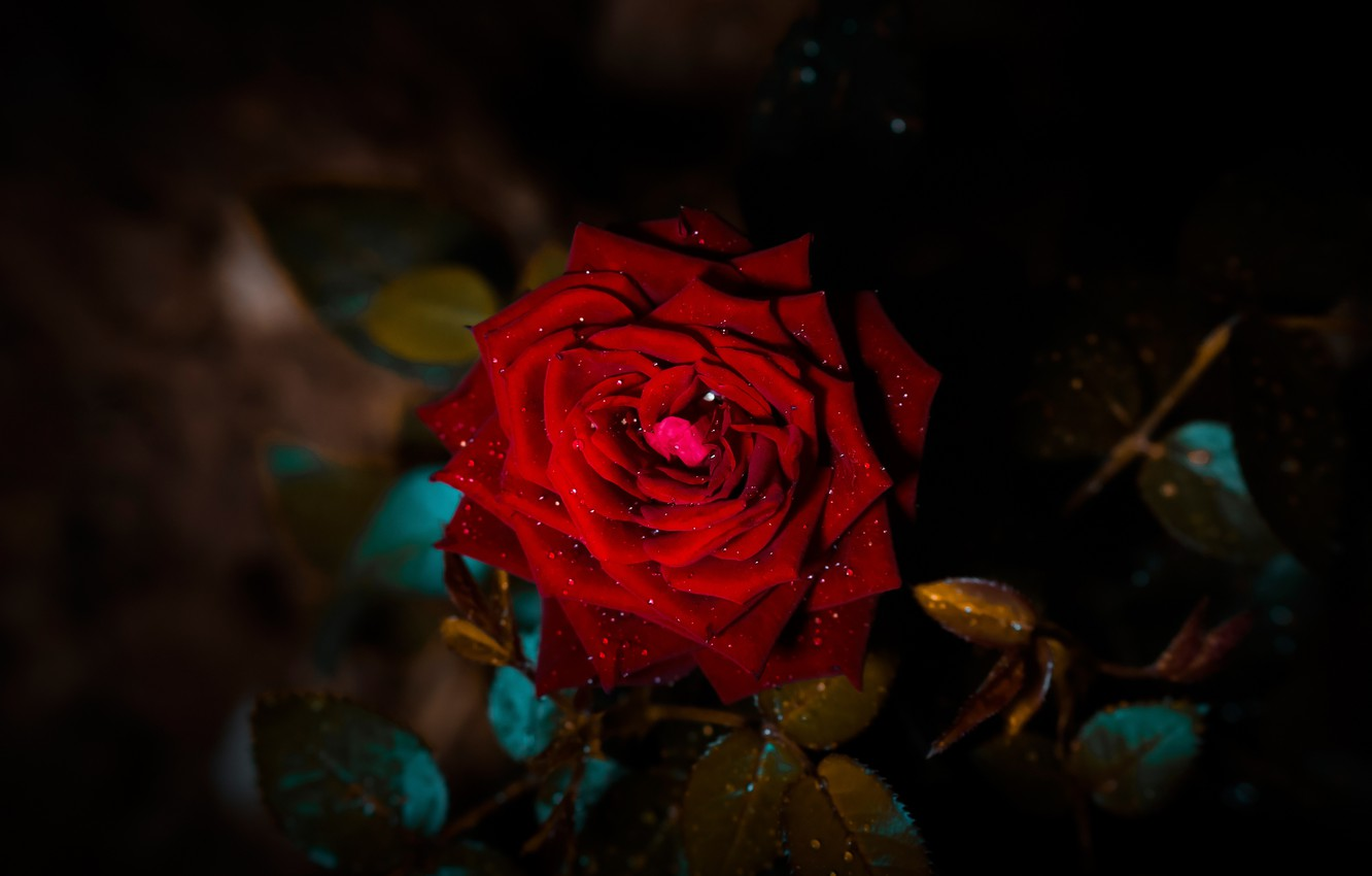 Photo wallpaper flower, leaves, drops, darkness, the dark background, rose, branch, petals, Bud, red, scarlet