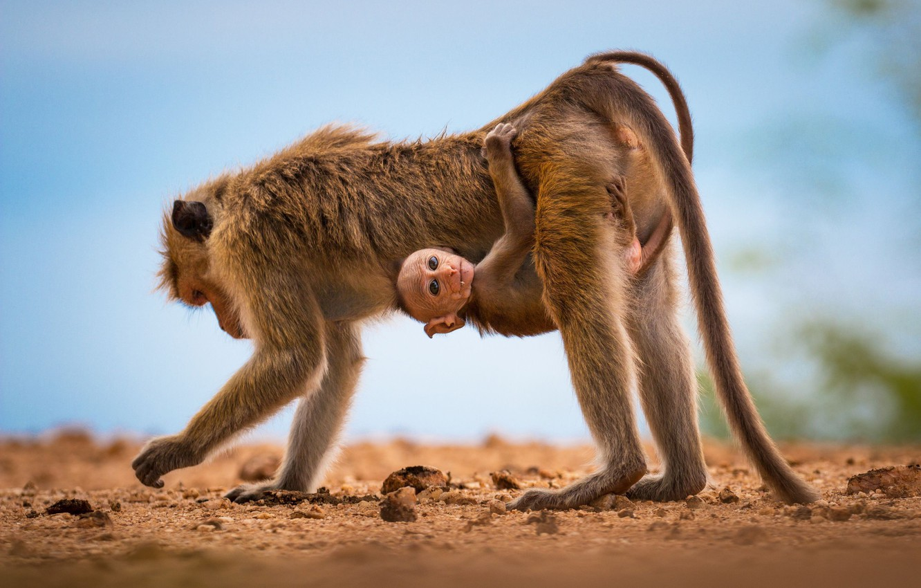 Photo wallpaper monkey, monkey, looks, detener, the nurse