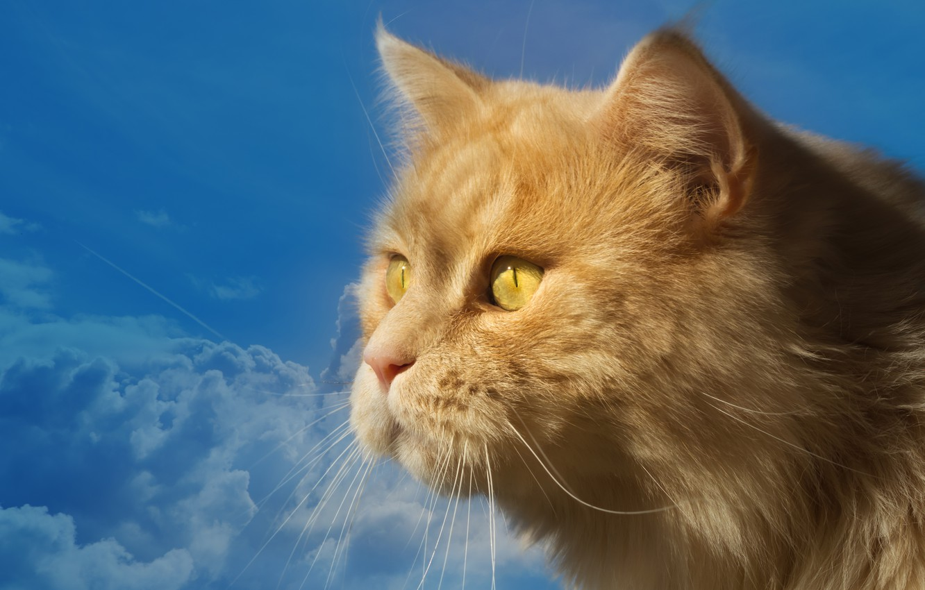 Photo wallpaper the sky, cat, look, blue, portrait, muzzle, profile, red cat, kotofey