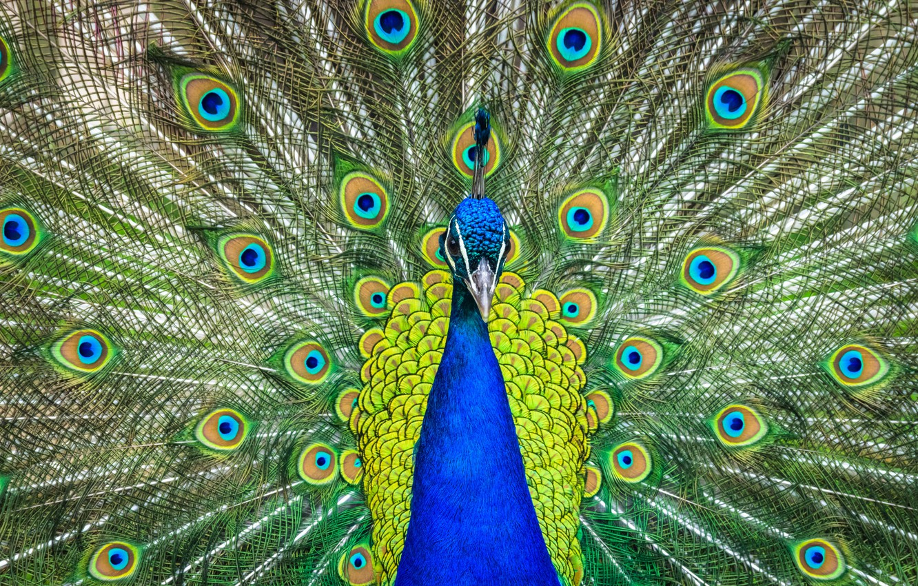 Photo wallpaper grass, blue, nature, green, bird, pattern, feathers, tail, peacock, tail, full face, crest, breast, opened