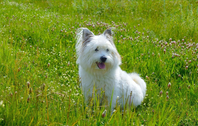 Photo wallpaper Grass, Dog, Dog, Grass, The West highland white Terrier