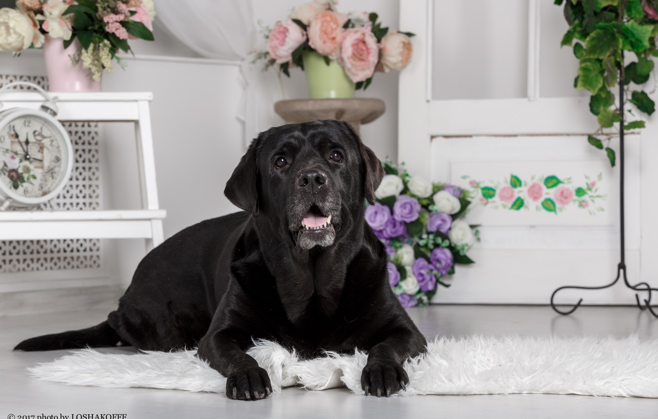 Photo wallpaper flowers, room, furniture, dog