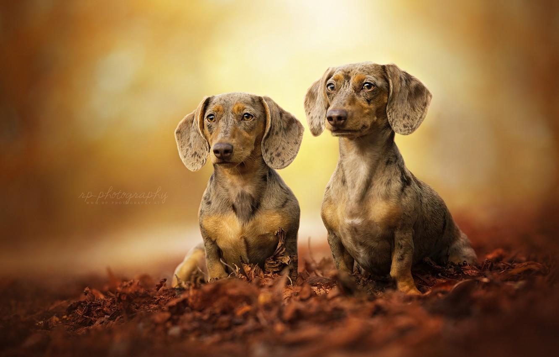 Photo wallpaper leaves, pair, bokeh, two dogs, Dachshund