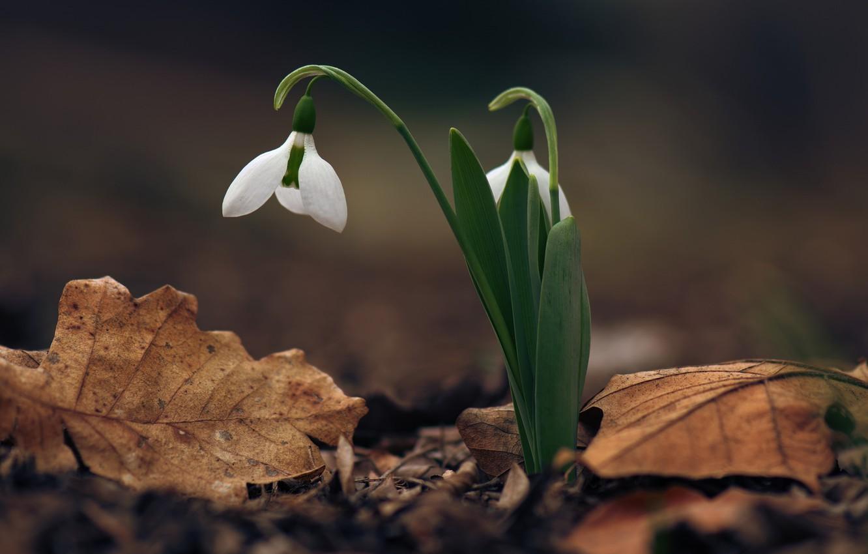 Photo wallpaper spring, primrose, snowdrop