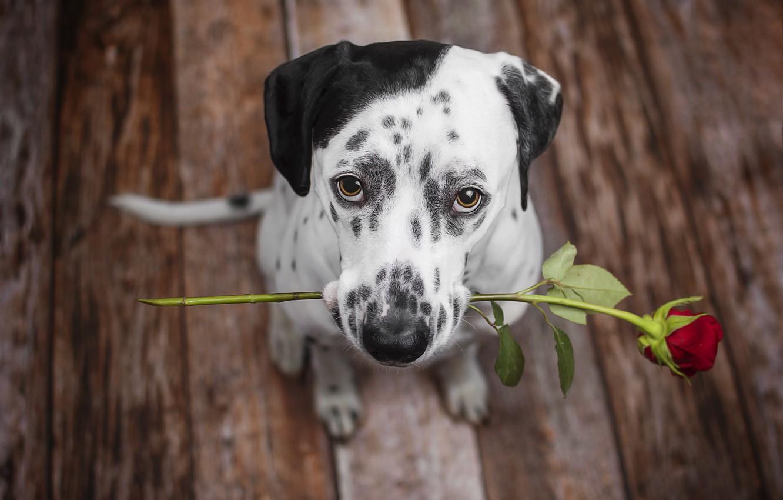Photo wallpaper each, rose, dog