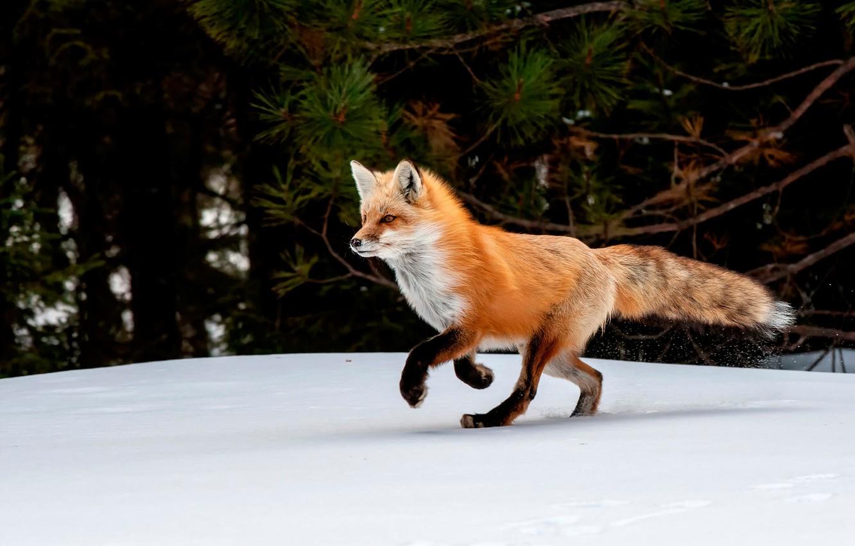 Photo wallpaper winter, snow, trees, nature, Fox, red, Fox